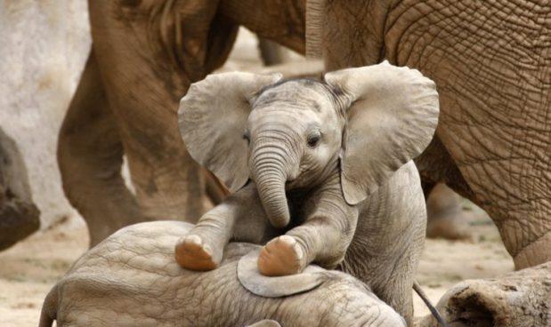 Gli elefanti africani si estingueranno entro il 2040, se non faremo nulla: l'annuncio del WWF
