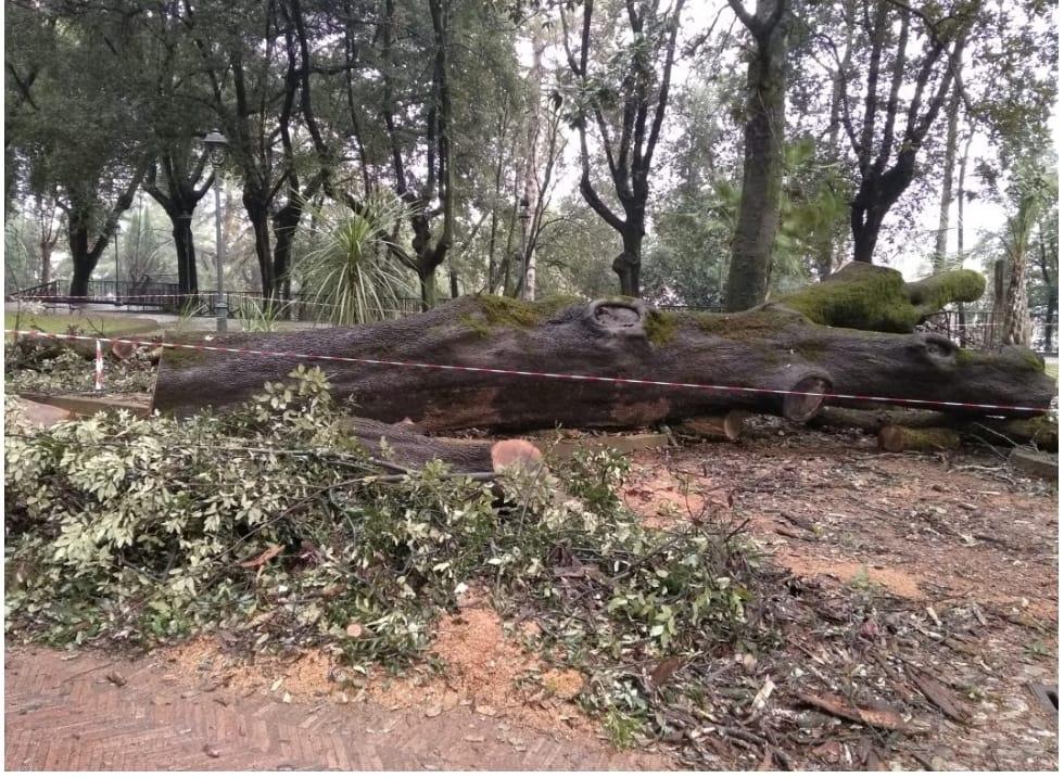 Cosenza: barbarico abbattimento di alberi storici. Insorgono gli ambientalisti