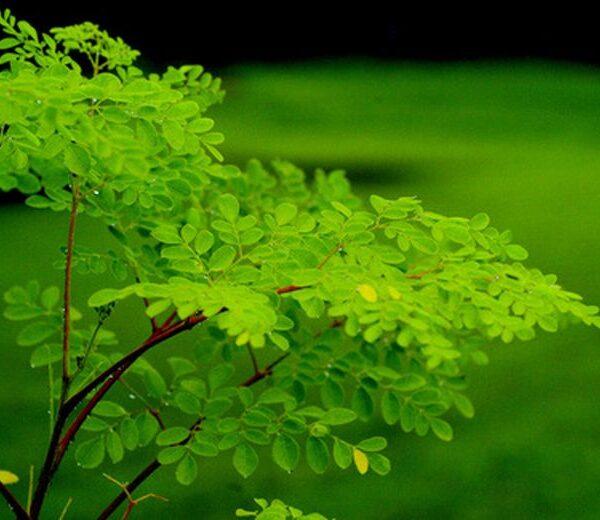 La Moringa, pianta quasi sconosciuta dalle eccezionali proprietà curative